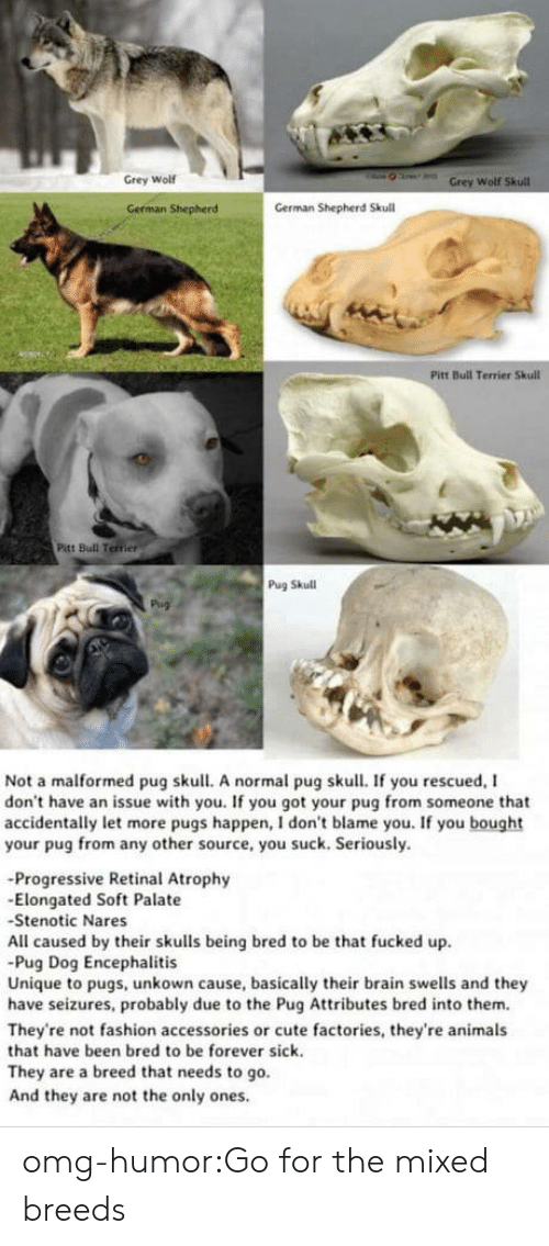 Elongated: Grey Wolf  Wolf  German Shepherd  German Shepherd Skull  Pitt Bull Terrier Skull  Pitt Bull Terrier  Pug Skull  Not a malformed pug skull. A normal pug skull. If you rescued, I  don't have an issue with you. If you got your pug from someone that  accidentally let more pugs happen, I don't blame you. If you bought  your pug from any other source, you suck. Seriously.  -Progressive Retinal Atrophy  -Elongated Soft Palate  Stenotic Nares  All caused by their skulls being bred to be that fucked up  Pug Dog Encephalitis  Unique to pugs, unkown cause, basically their brain swells and they  have seizures, probably due to the Pug Attributes bred into them.  They're not fashion accessories or cute factories, they're animals  that have been bred to be forever sick.  They are a breed that needs to go.  And they are not the only ones omg-humor:Go for the mixed breeds