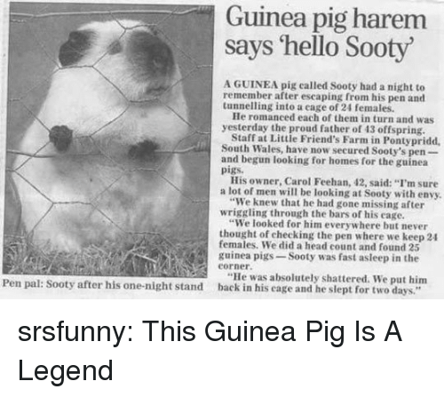 """Friends, Head, and Hello: Guinea pig harem  says 'hello Sooty  A GUINEA pig called Sooty had a night to  remember after escaping from his pen and  tunnelling into a eage of 24 females.  He romanced each of them in turn and was  yesterday the proud father of 43 offspring  Staff at Little Friend's Farm in Pontypridd  South Wales, have now secured Sooty's pen-  and begun looking for homes for the guinea  pigs.  His owner, Carol Feehan, 42, said: """"I'm sure  a lot of men will be looking at Sooty with envy.  """"We knew that he had gone missing after  """"We looked for him everywhere but never  females. We did a head count and found 25  wriggling through the bars of his cage.  thought of checking the pen where we keep 24  guinea pigs-Sooty was fast asleep in the  eorner.  """"He was absolutely shattered. We put him  Pen pal: Sooty after his one-night stand back in his cage and he slept for two days."""" srsfunny:  This Guinea Pig Is A Legend"""