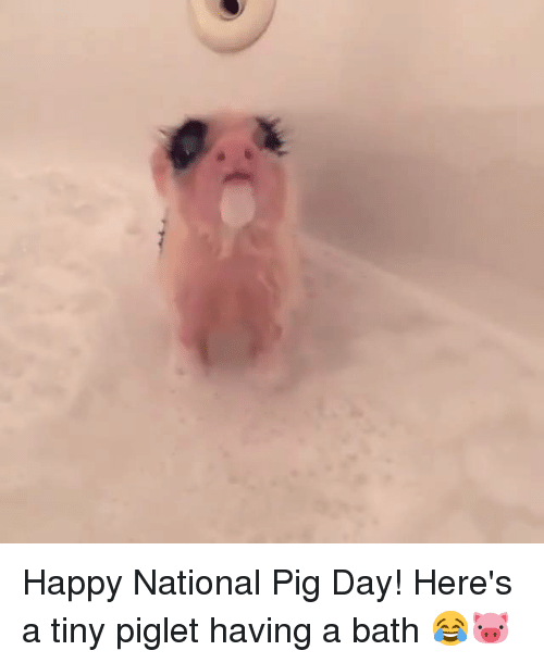 Dank, 🤖, and Pig: Happy National Pig Day! Here's a tiny piglet having a bath 😂🐷