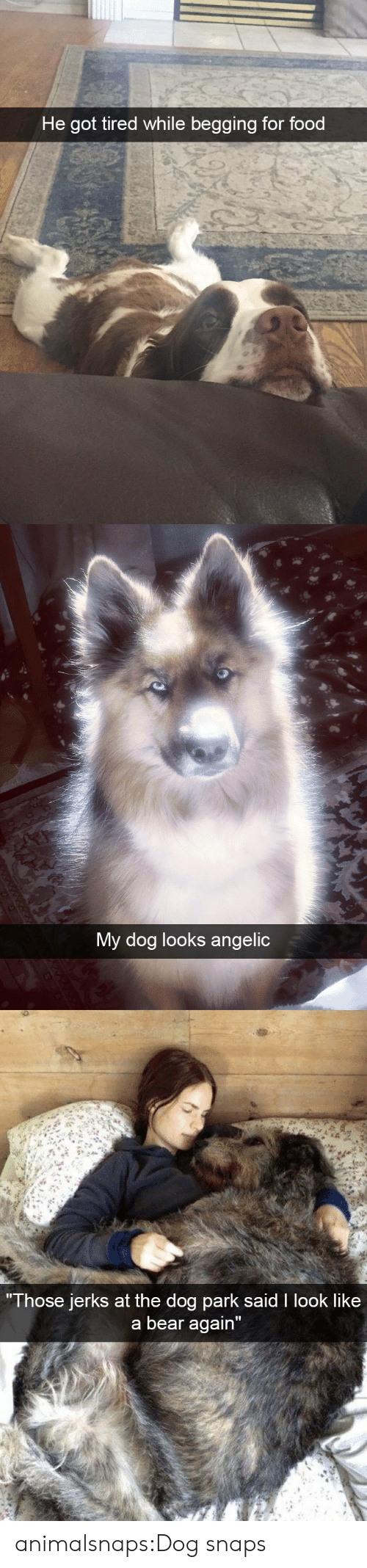 """Food, Target, and Tumblr: He got tired while begging for food   My dog looks angelic   Those jerks at the do  g park sald I look like  a bear again"""" animalsnaps:Dog snaps"""