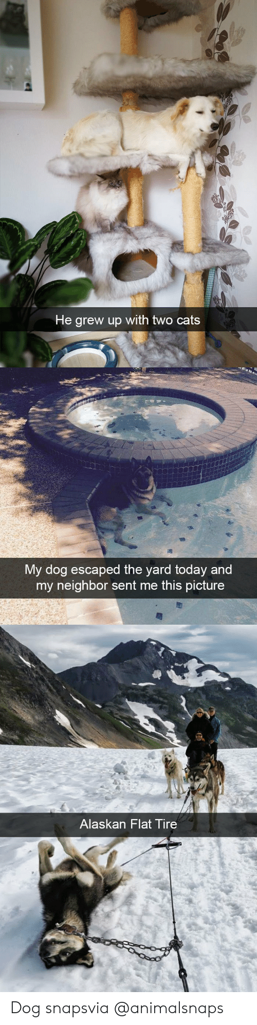 Cats, Target, and Tumblr: He grew up with two cats   vMy dog escaped the yard today and  my neighbor sent me this picture   Alaskan Flat Tire Dog snapsvia @animalsnaps