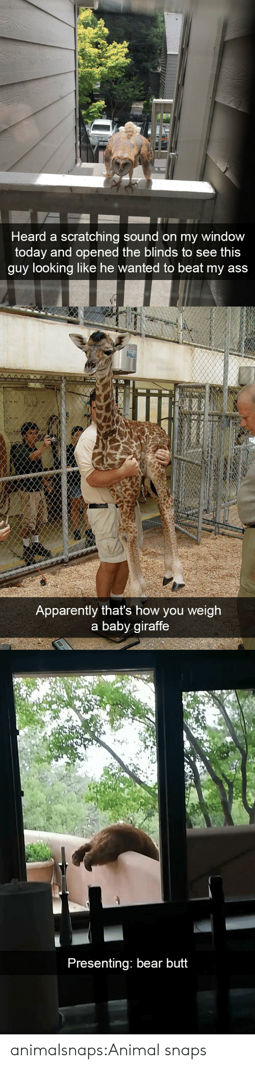 Apparently, Ass, and Butt: Heard a scratching sound on my window  today and opened the blinds to see thi:s  guy looking like he wanted to beat my ass   Apparently that's how you weigh  a baby giraffe   Presenting: bear butt animalsnaps:Animal snaps
