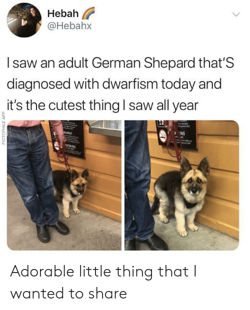 Saw, Today, and Adorable: Hebah  @Hebahx  l saw an adult German Shepard that'S  diagnosed with dwarfism today and  it's the cutest thing I saw all year  0  0  ING Adorable little thing that I wanted to share
