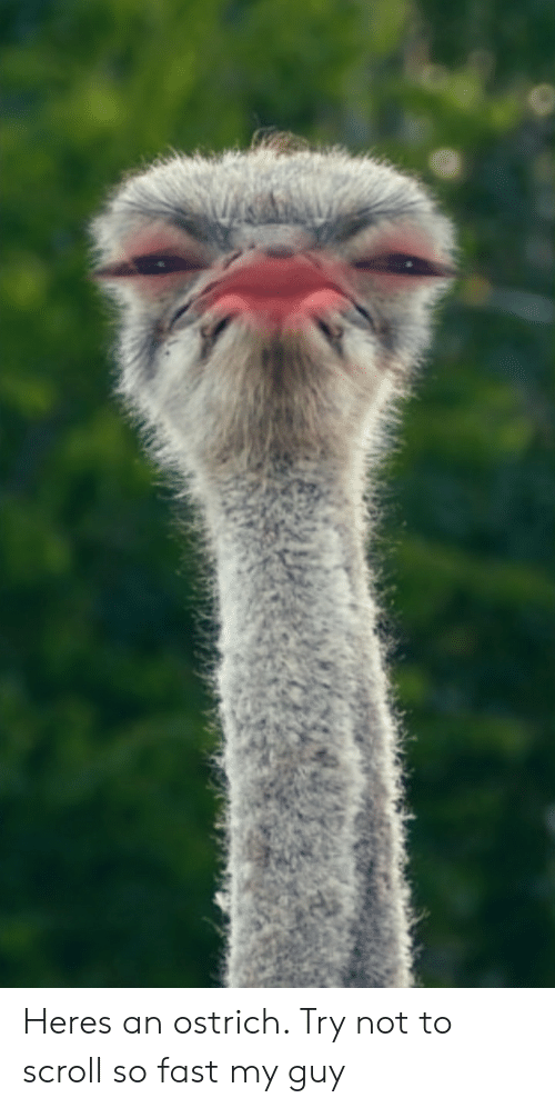 Heres an Ostrich Try Not to Scroll So Fast My Guy | Reddit Meme on