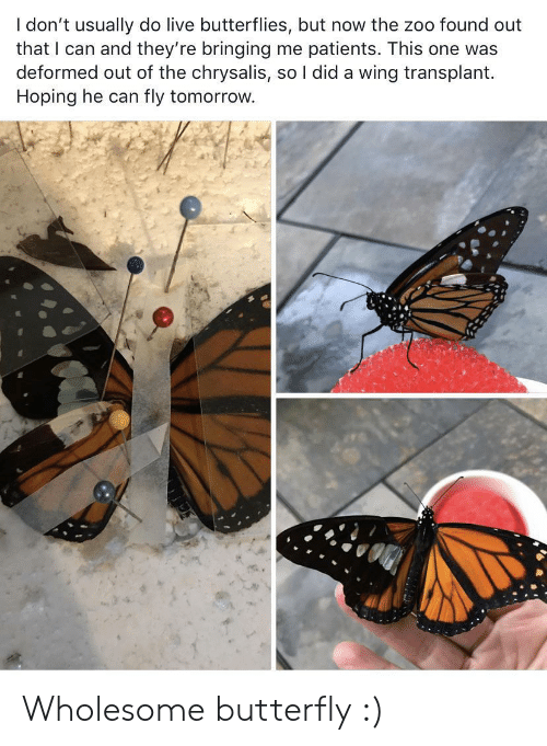 Butterfly, Live, and Tomorrow: I don't usually do live butterflies, but now the zoo found out  that I can and they're bringing me patients. This one was  deformed out of the chrysalis, so I did a wing transplant  Hoping he can  fly tomorrow. Wholesome butterfly :)