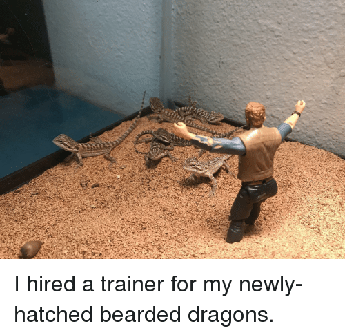 Bearded: I hired a trainer for my newly-hatched bearded dragons.
