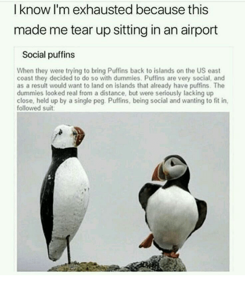 Single, Back, and Fit: I know l'm exhausted because this  made me tear up sitting in an airport  Social puffins  When they were trying to bring Puffins back to islands on the US east  coast they decided to do so with dummies. Puffins are very social, and  as a result would want to land on islands that already have puffins. The  dummies looked real from a distance, but were seriously lacking up  close, held up by a single peg. Puffins, being social and wanting to fit in  followed suit