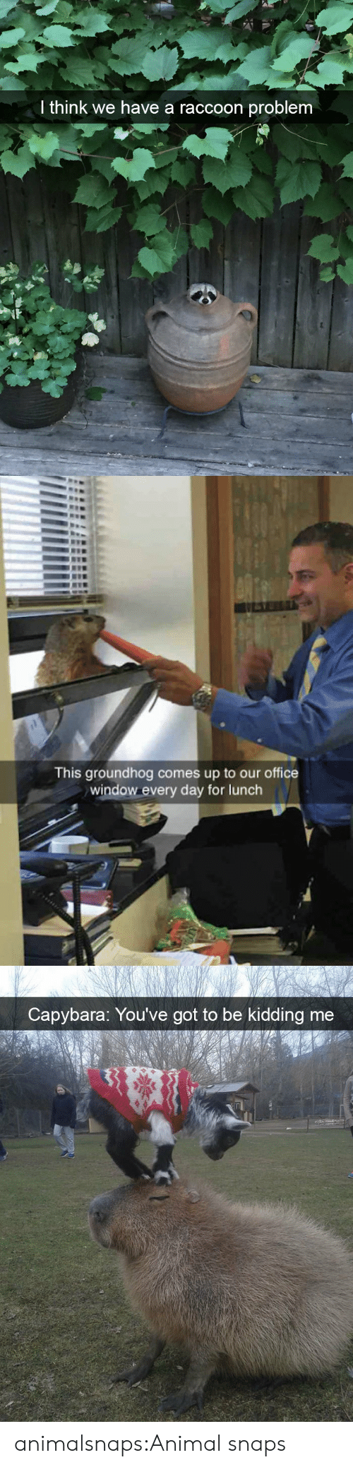 Target, Tumblr, and Animal: I think we have a raccoon problem   This groundhog comes up to our office  window every day for lunch   Capybara: You've got to be kidding me animalsnaps:Animal snaps