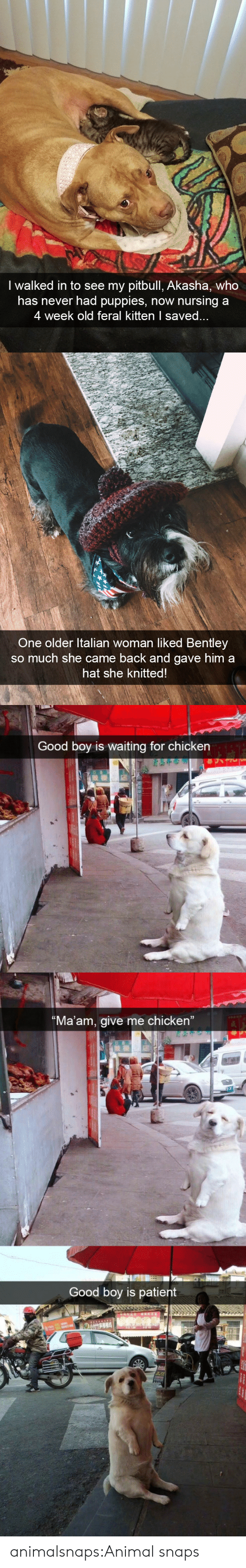 """Puppies, Target, and Tumblr: I walked in to see my pitbull, Akasha, who  has never had puppies, now nursing a  4 week old feral kitten I save   One older ltalian woman liked Bentley  so much she came back and gave him a  hat she knitted   Good boy is waiting for chicken  Ma'am, give me chicken""""  Good boy is patient animalsnaps:Animal snaps"""