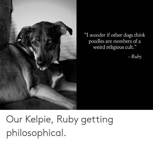 "ruby: ""I wonder if other dogs think  poodles are members of a  weird religious cult.""  - Ruby Our Kelpie, Ruby getting philosophical."