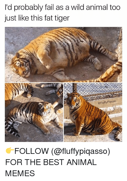 Animation Meme: I'd probably fail as a wild animal too  just like this fat tiger  eFluffyPiqasso 👉FOLLOW (@fluffypiqasso) FOR THE BEST ANIMAL MEMES