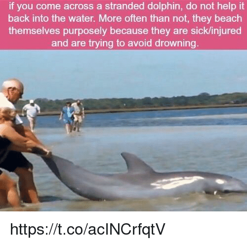 Dolphinately: if you come across a stranded dolphin, do not help it  back into the water. More often than not, they beach  themselves purposely because they are sicklinjured  and are trying to avoid drowning https://t.co/acINCrfqtV