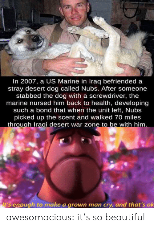 desert: In 2007, a US Marine in Iraq befriended a  stray desert dog called Nubs. After someone  stabbed the dog with a screwdriver, the  marine nursed him back to health, developing  such a bond that when the unit left, Nubs  picked up the scent and walked 70 miles  through Iraqi desert war zone to be with him.  it's enough to make a grown man cry, and that's ok awesomacious:  it's so beautiful