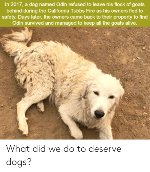 Alive, Dogs, and Fire: In 2017, a dog named Odin refused to leave his flock of goats  behind during the California Tubbs Fire as his owners fled to  safety. Days later, the owners came back to their property to find  Odin survived and managed to keep all the goats alive. What did we do to deserve dogs?