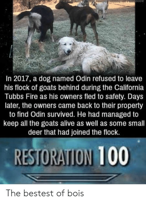 In 2017: In 2017, a dog named Odin refused to leave  his flock of goats behind during the California  Tubbs Fire as his owners fled to safety. Days  later, the owners came back to their property  to find Odin survived. He had managed to  keep all the goats alive as well as some small  deer that had joined the flock.  RESTORATION 100 The bestest of bois