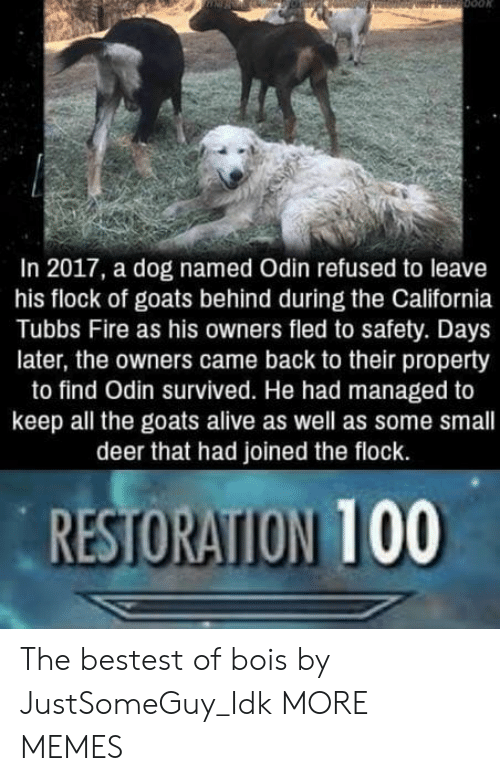 In 2017: In 2017, a dog named Odin refused to leave  his flock of goats behind during the California  Tubbs Fire as his owners fled to safety. Days  later, the owners came back to their property  to find Odin survived. He had managed to  keep all the goats alive as well as some small  deer that had joined the flock.  RESTORATION 100 The bestest of bois by JustSomeGuy_Idk MORE MEMES