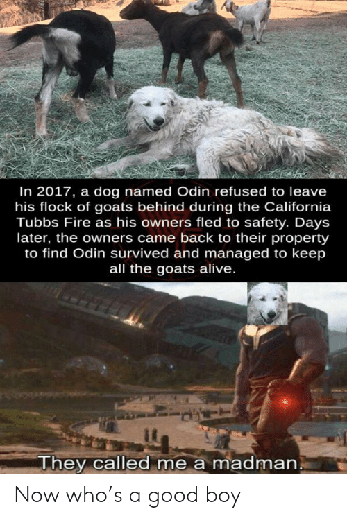 In 2017: In 2017, a dog named Odin refused to leave  his flock of goats behind during the California  Tubbs Fire as his owners fled to safety. Days  later, the owners came back to their property  to find Odin survived and managed to keep  all the goats alive.  They called me a madman Now who's a good boy