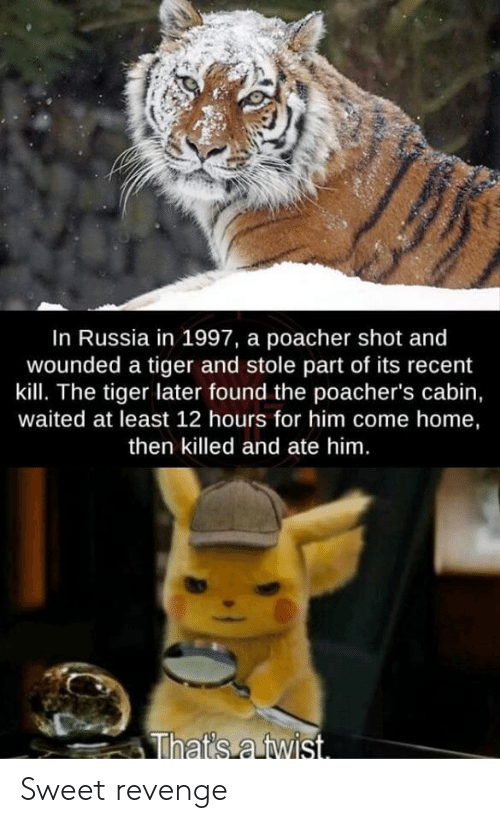 Revenge, Home, and Russia: In Russia in 1997, a poacher shot and  wounded a tiger and stole part of its recent  kill. The tiger later found the poacher's cabin,  waited at least 12 hours for him come home,  then killed and ate him.  That's a twist. Sweet revenge