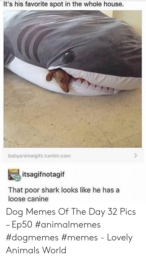 Animals, Memes, and Tumblr: It's his favorite spot in the whole house.  babyanimalgifs.tumblr.com  itsagifnotagif  That poor shark looks like he has a  loose canine Dog Memes Of The Day 32 Pics – Ep50 #animalmemes #dogmemes #memes - Lovely Animals World