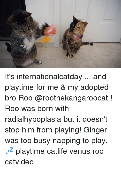 gingerly: It's internationalcatday ....and playtime for me & my adopted bro Roo @roothekangaroocat ! Roo was born with radialhypoplasia but it doesn't stop him from playing! Ginger was too busy napping to play. 💤 playtime catlife venus roo catvideo