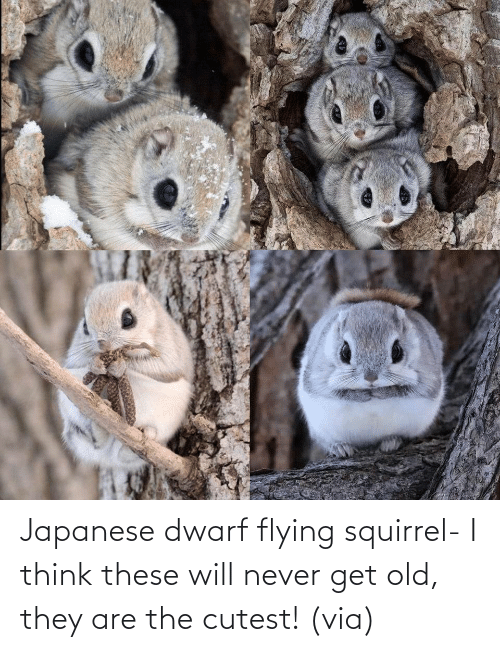 Never: Japanese dwarf flying squirrel- I think these will never get old, they are the cutest! (via)