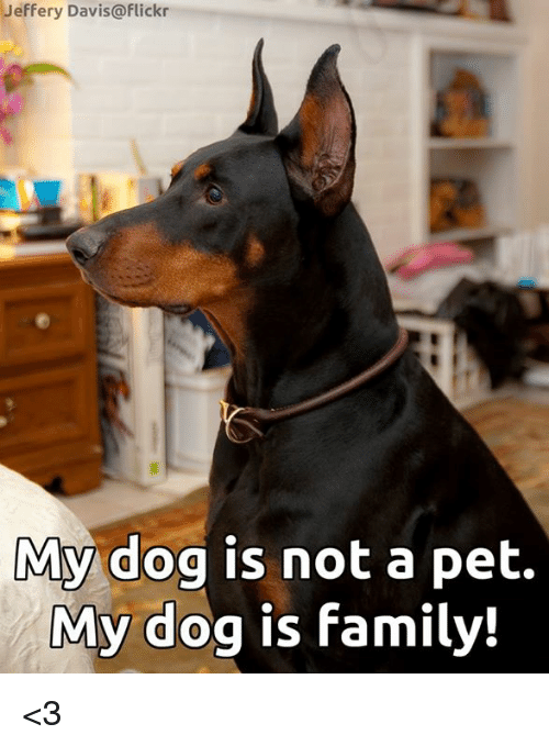 Family, Memes, and Flickr: Jeffery Davis@flickr  My dog is not a pet.  My dog is family! <3
