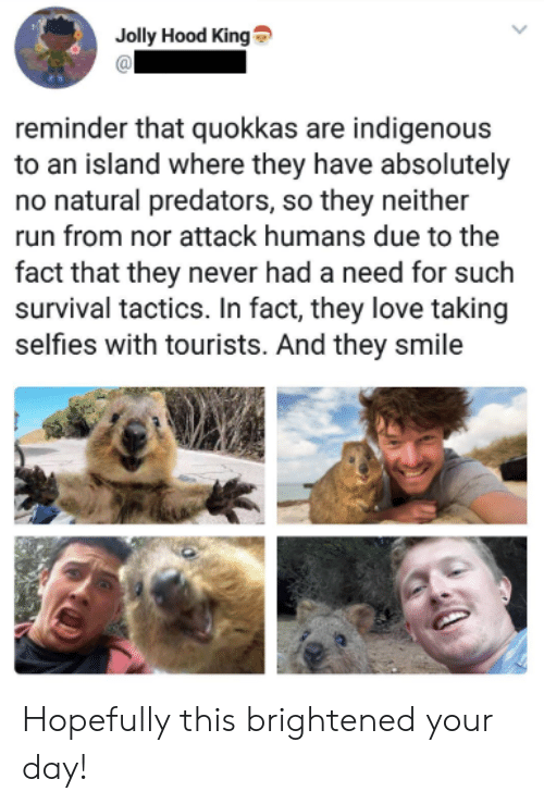 jolly: Jolly Hood King  reminder that quokkas are indigenous  to an island where they have absolutely  no natural predators, so they neither  run from nor attack humans due to the  fact that they never had a need for such  survival tactics. In fact, they love taking  selfies with tourists. And they smile Hopefully this brightened your day!