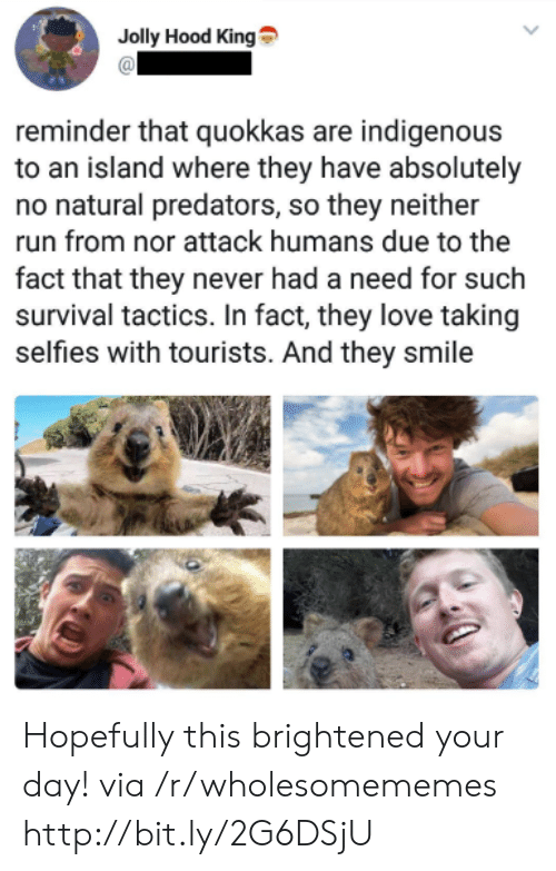jolly: Jolly Hood King  reminder that quokkas are indigenous  to an island where they have absolutely  no natural predators, so they neither  run from nor attack humans due to the  fact that they never had a need for such  survival tactics. In fact, they love taking  selfies with tourists. And they smile Hopefully this brightened your day! via /r/wholesomememes http://bit.ly/2G6DSjU