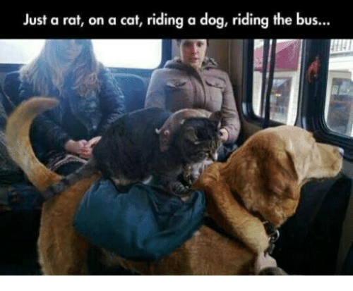 Riding A Dog: Just a rat, on a cat, riding a dog, riding the bus...
