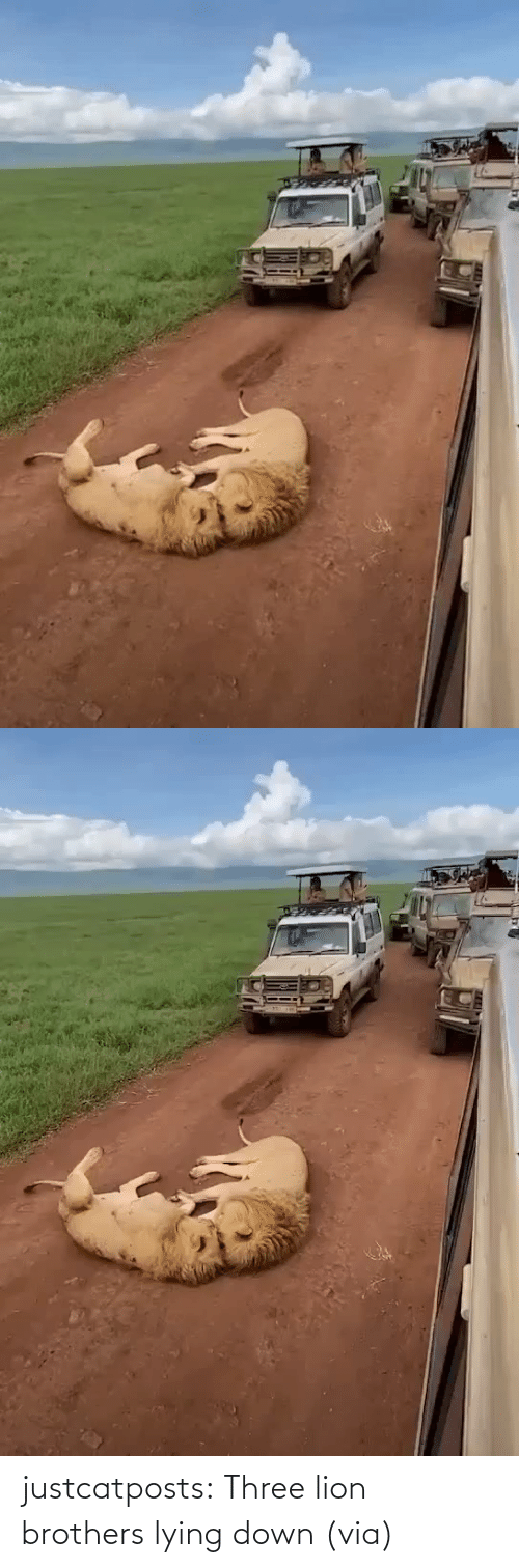 down: justcatposts:  Three lion brothers lying down(via)