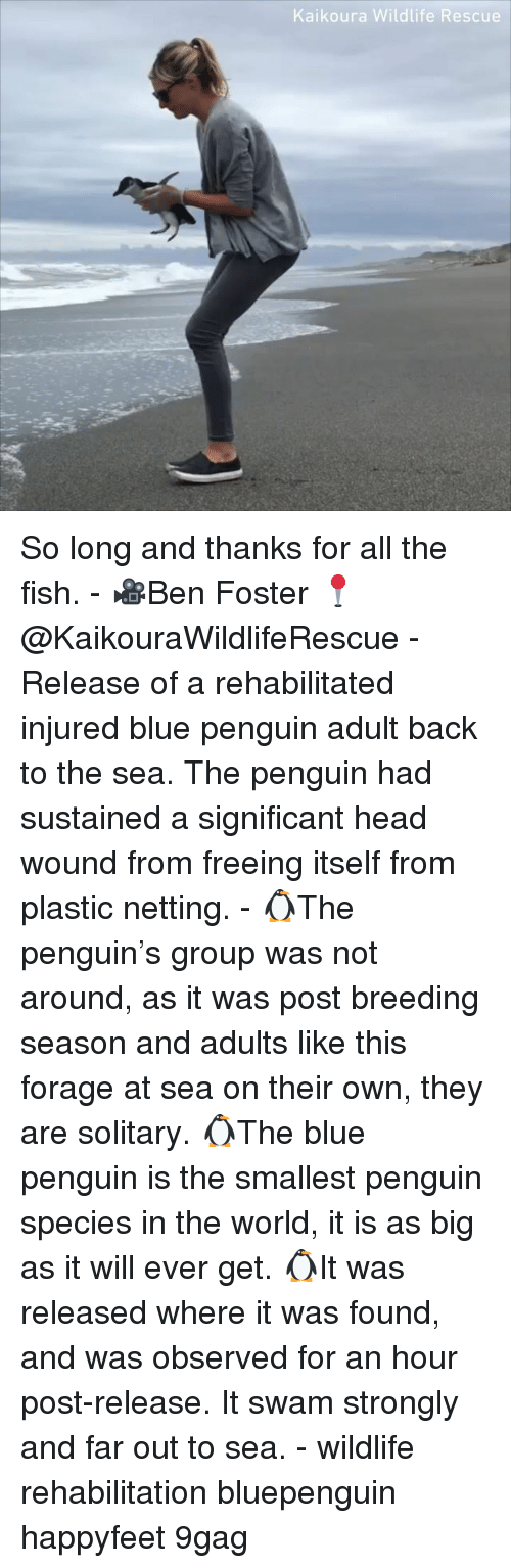 9gag, Head, and Memes: Kaikoura Wildlife Rescue So long and thanks for all the fish. - 🎥Ben Foster 📍@KaikouraWildlifeRescue - Release of a rehabilitated injured blue penguin adult back to the sea. The penguin had sustained a significant head wound from freeing itself from plastic netting. - 🐧The penguin's group was not around, as it was post breeding season and adults like this forage at sea on their own, they are solitary. 🐧The blue penguin is the smallest penguin species in the world, it is as big as it will ever get. 🐧It was released where it was found, and was observed for an hour post-release. It swam strongly and far out to sea. - wildlife rehabilitation bluepenguin happyfeet 9gag