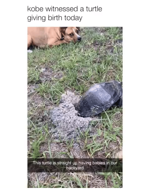 Kobe, Today, and Turtle: kobe witnessed a turtle  giving birth today  This turtle is straight up having babies in our  backyard