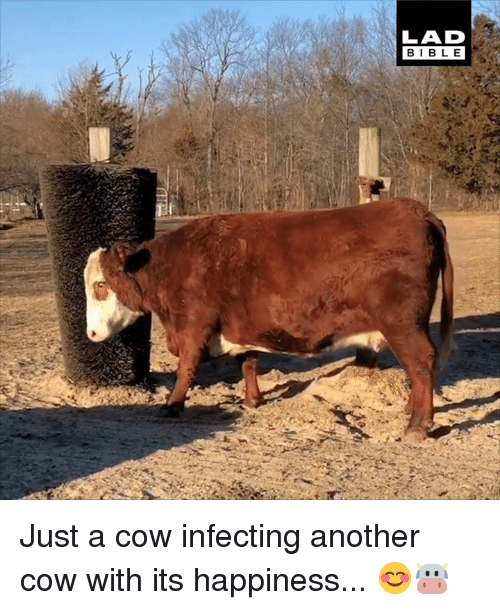 Dank, Bible, and Happiness: LAD  BIBLE Just a cow infecting another cow with its happiness... 😊🐮