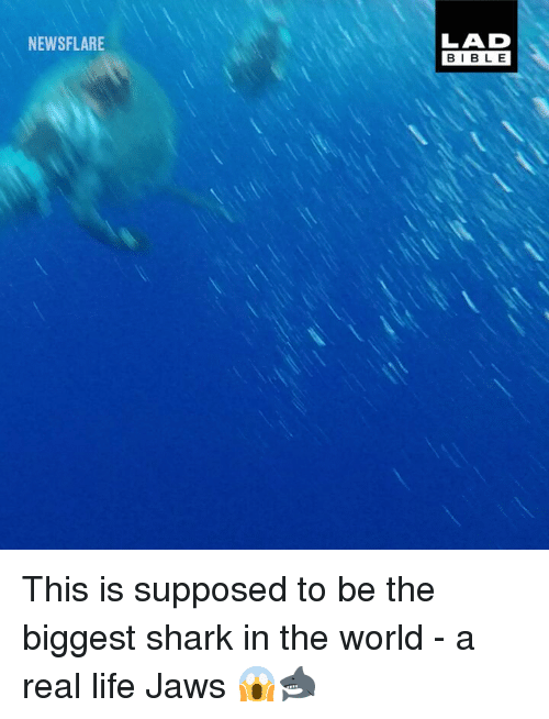 Life, Memes, and Shark: LAD  BIBLE  NEWSFLARE This is supposed to be the biggest shark in the world - a real life Jaws 😱🦈