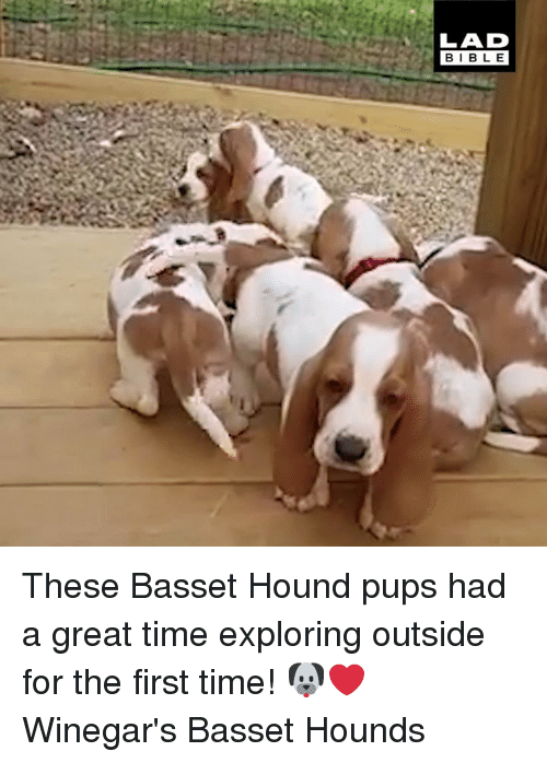 hound: LAD  BIBLE These Basset Hound pups had a great time exploring outside for the first time! 🐶❤️  Winegar's Basset Hounds