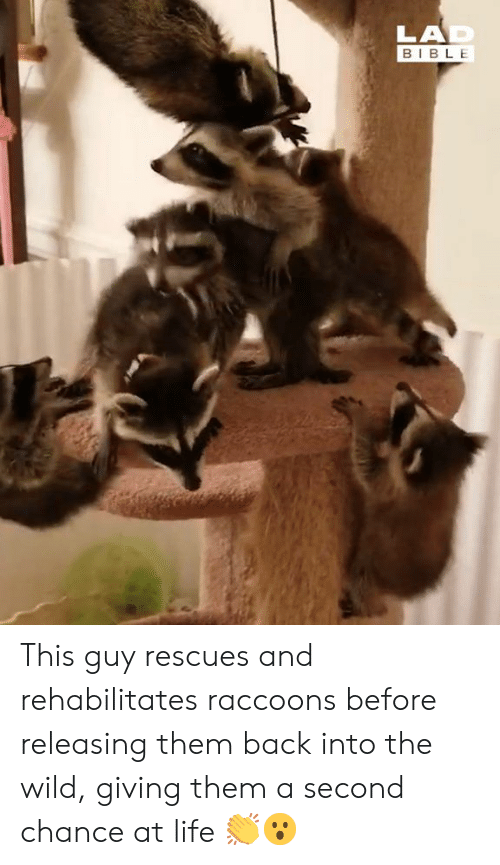 Dank, Life, and Bible: LAD  BIBLE This guy rescues and rehabilitates raccoons before releasing them back into the wild, giving them a second chance at life 👏😮