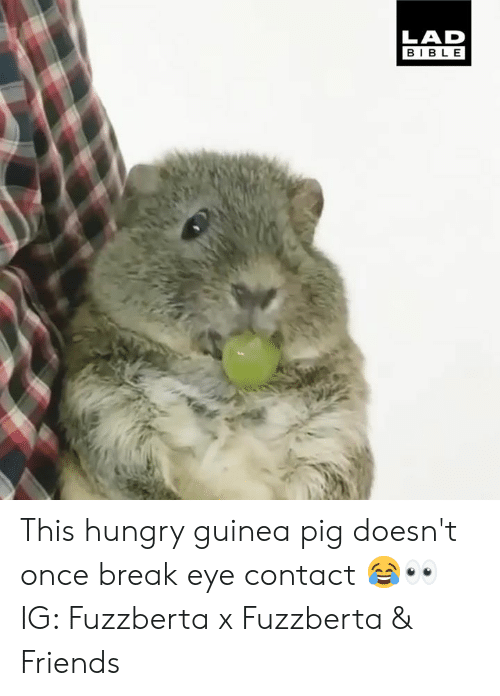 Dank, Friends, and Hungry: LAD  BIBLE This hungry guinea pig doesn't once break eye contact 😂👀  IG: Fuzzberta x Fuzzberta & Friends