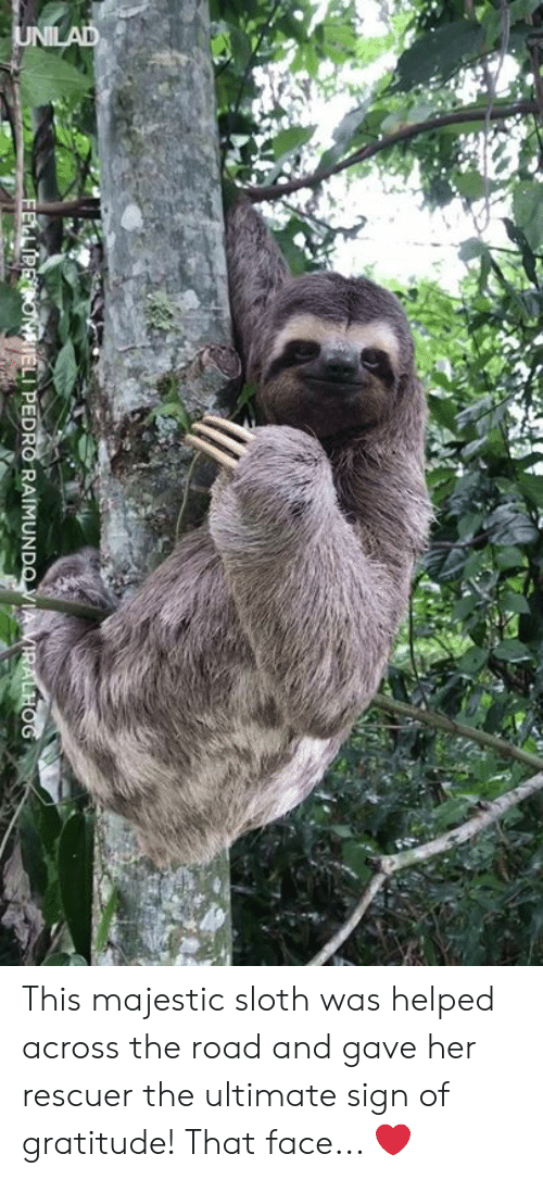 that face: LI PEDRO RAIMUN This majestic sloth was helped across the road and gave her rescuer the ultimate sign of gratitude! That face... ❤️