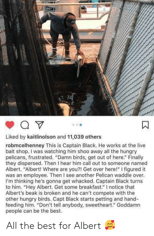 """sweetheart: Liked by kaitlinolson and 11,039 others  robmcelhenney This is Captain Black. He works at the live  bait shop. I was watching him shoo away all the hungry  pelicans, frustrated. """"Damn birds, get out of here."""" Finally  they dispersed. Then I hear him call out to someone named  Albert. """"Albert! Where are you?! Get over here!"""" I figured it  was an employee. Then I see another Pelican waddle over.  I'm thinking he's gonna get whacked. Captain Black turns  to him. """"Hey Albert. Get some breakfast."""" I notice that  Albert's beak is broken and he can't compete with the  other hungry birds. Capt Black starts petting and hand-  feeding him. """"Don't tell anybody, sweetheart."""" Goddamn  people can be the best. All the best for Albert 🥰"""