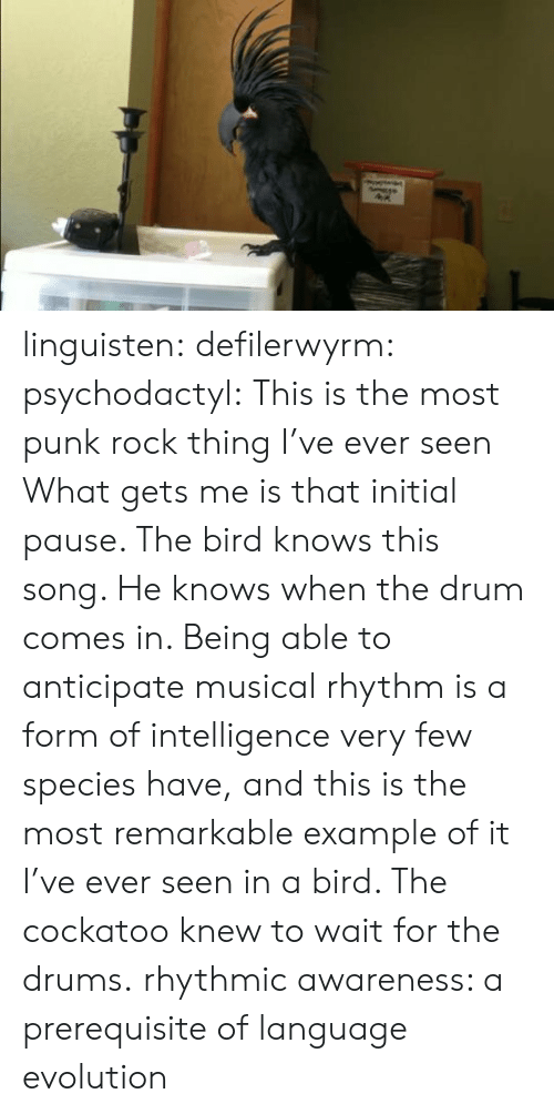 Awareness: linguisten:  defilerwyrm:  psychodactyl: This is the most punk rock thing I've ever seen What gets me is that initial pause. The bird knows this song. He knows when the drum comes in. Being able to anticipate musical rhythm is a form of intelligence very few species have, and this is the most remarkable example of it I've ever seen in a bird. The cockatoo knew to wait for the drums.  rhythmic awareness: a prerequisite of language evolution