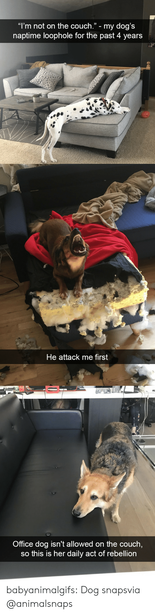 "Dogs, Tumblr, and Blog: ""l'm not on the couch."" - my dog's  naptime loophole for the past 4 years   He attack me first   Office dog isn't allowed on the couch  so this is her daily act of rebellion babyanimalgifs:  Dog snapsvia @animalsnaps"