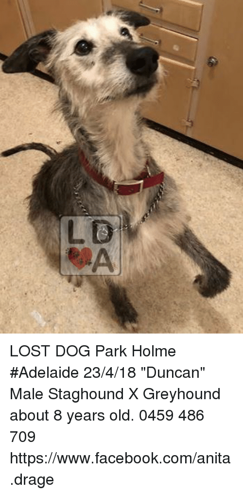 "Facebook, Memes, and Lost: LOST DOG Park Holme #Adelaide 23/4/18 ""Duncan"" Male Staghound X Greyhound about 8 years old. 0459 486 709 https://www.facebook.com/anita.drage"