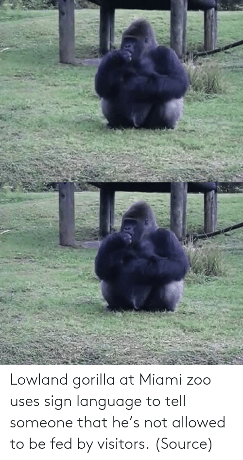 language: Lowland gorilla at Miami zoo uses sign language to tell someone that he's not allowed to be fed by visitors.(Source)