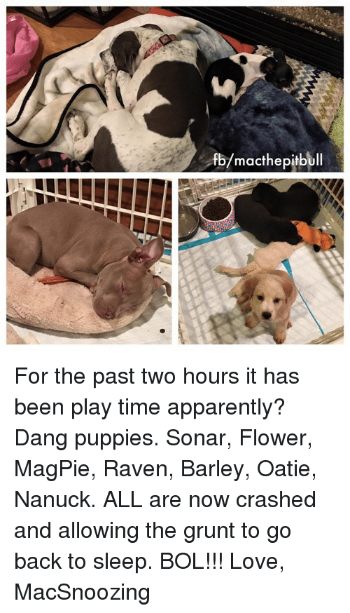 apparate: macthepitb For the past two hours it has been play time apparently? Dang puppies. Sonar, Flower, MagPie, Raven, Barley, Oatie, Nanuck. ALL are now crashed and allowing the grunt to go back to sleep. BOL!!!   Love, MacSnoozing
