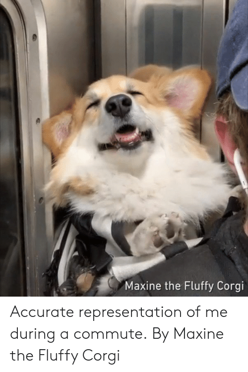 Corgi, Dank, and Accurate Representation: Maxine the Fluffy Corgi Accurate representation of me during a commute.  By Maxine the Fluffy Corgi