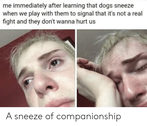 Dogs, Companionship, and Fight: me immediately after learning that dogs sneeze  when we play with them to signal that it's not a real  fight and they don't wanna hurt us A sneeze of companionship