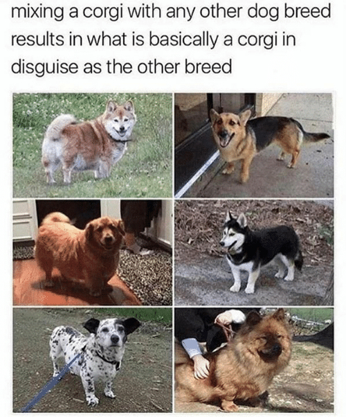 Corgi, Memes, and What Is: mixing a corgi with any other dog breed  results in what is basically a corgi in  disguise as the other breed
