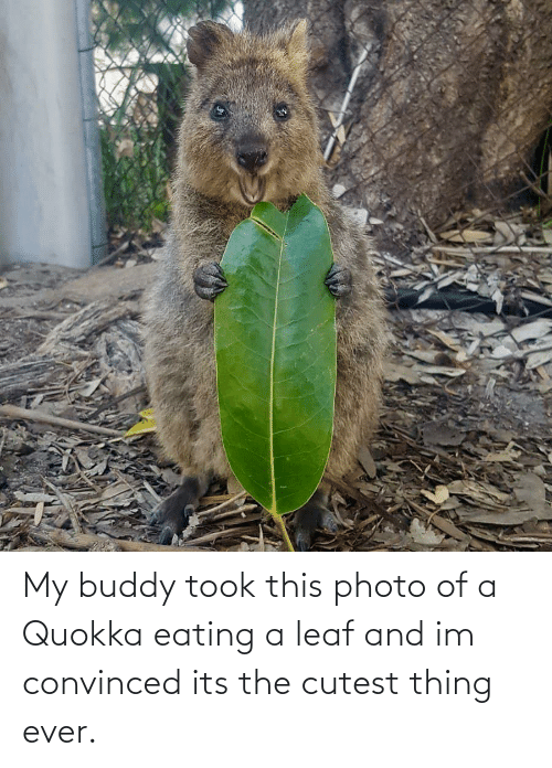 35+ Ideas For Cute Quokka Eating - Lee Dii