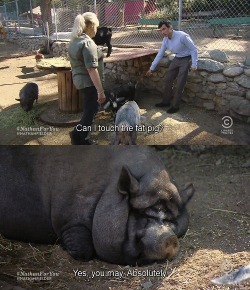 Fat, Comedy, and Pig:  #NathanForYou. rgir Can l touch,the fat pig?  @NATHANFIELDER  COMEDY   eNathanror ouYes, you may. Absolutelý  GNATHANFİELDER .