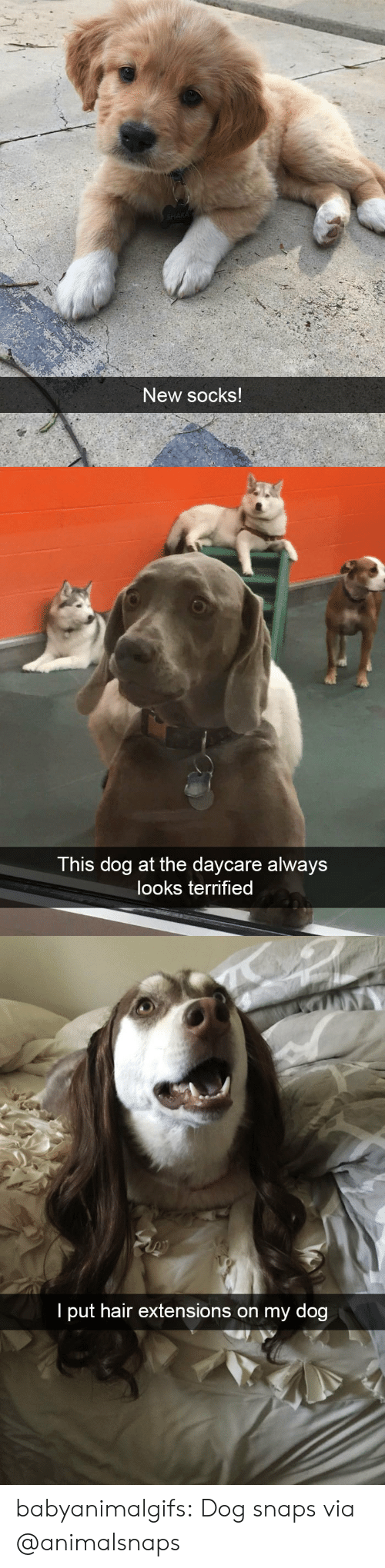 Tumblr, Blog, and Hair: New socks   This dog at the daycare always  looks terrified   I put hair extensions on my dog babyanimalgifs: Dog snaps via @animalsnaps
